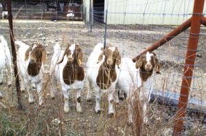 goats_pedernales